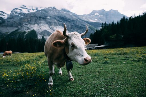 Cows at altitude in Russia