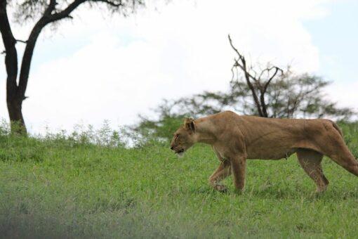 Safari Lioness