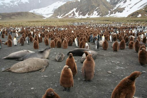 Abundance of Wildlife_Fur Seals and King Penguins_Gold Harbour_South Georgia_ClareOLeary